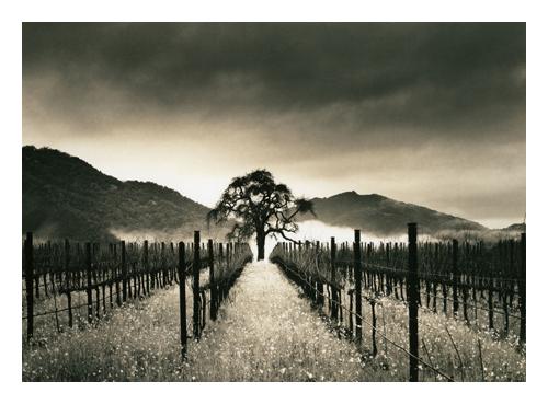Carmel Valley Oak