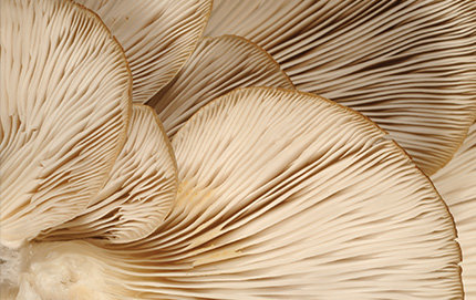 A close-up shot of oyster mushrooms - Pleurotus ostreatus