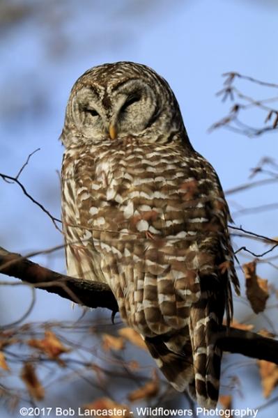011417-barred owl Wickiup_MG_0935.jpg