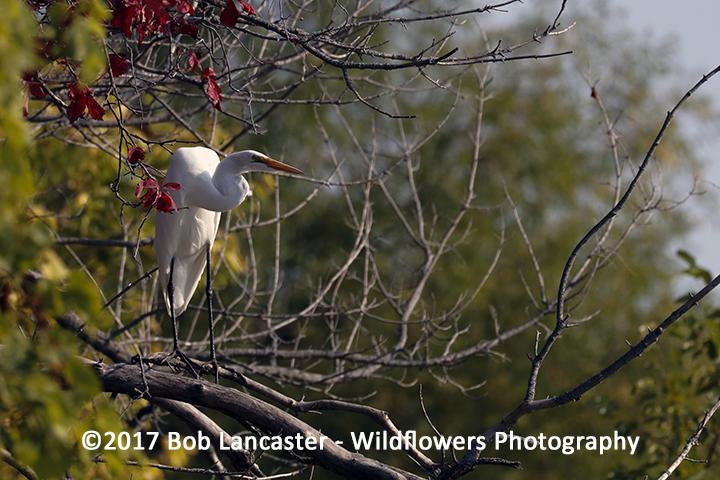 White Egret-091417_MG_3444.jpg
