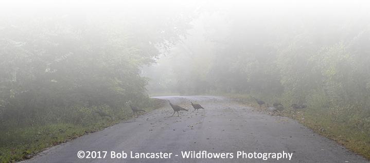 turkeys in the fog_2517.jpg