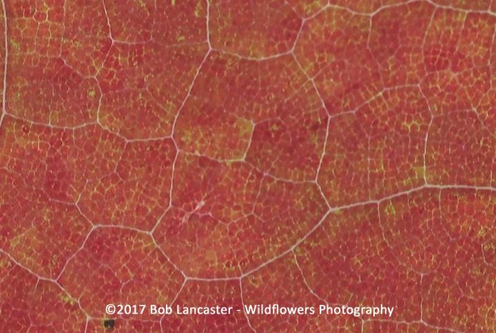Leaf close-up_red maple_3083.jpg