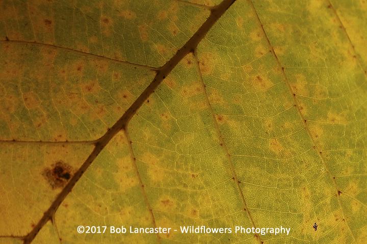 leaf close-up_swamp white oak_3005.jpg