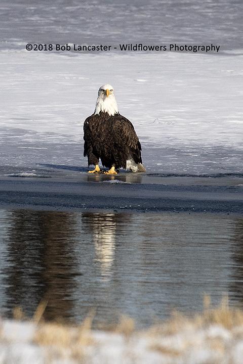 bald_eagle_cedar_river_basin_010818_MG_6278.jpg