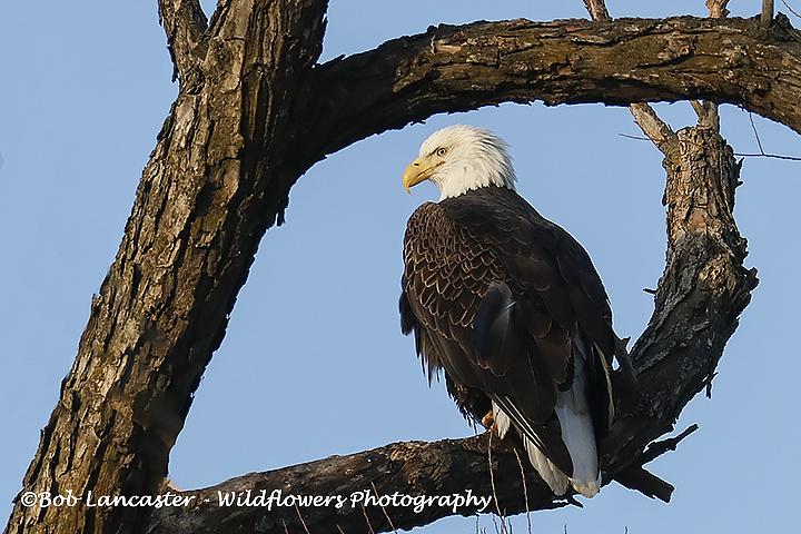 Eagle naturally framed_MG_7245.jpg