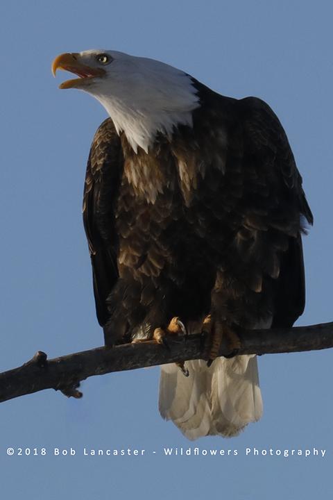eagle screaming_MG_7912.jpg
