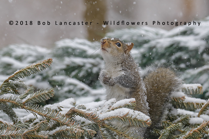 squirel in the snow_MG_8349.jpg