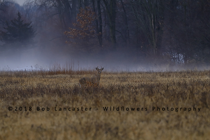 young buck stepping out of the fog_MG_8577.jpg