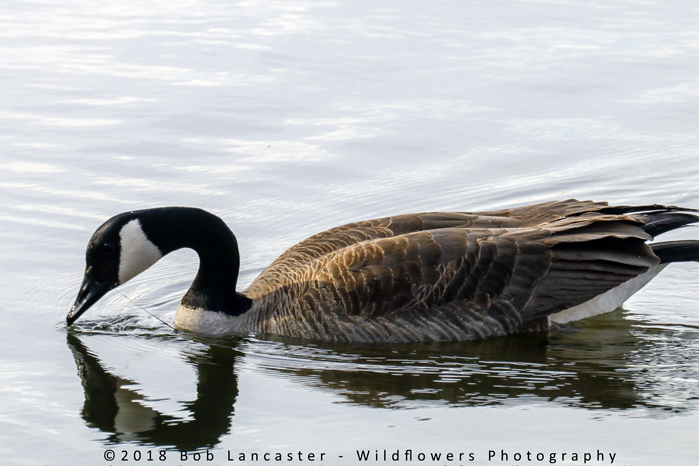 goose with fishing line in mouth_MG_8685.jpg