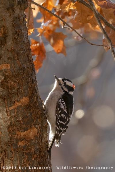 Downy_Woodpecker_8841.jpg