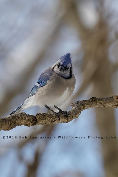 Blue Jay#3_MG_0251.jpg