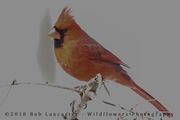 Cardinal amazing colors_MG_0242.jpg