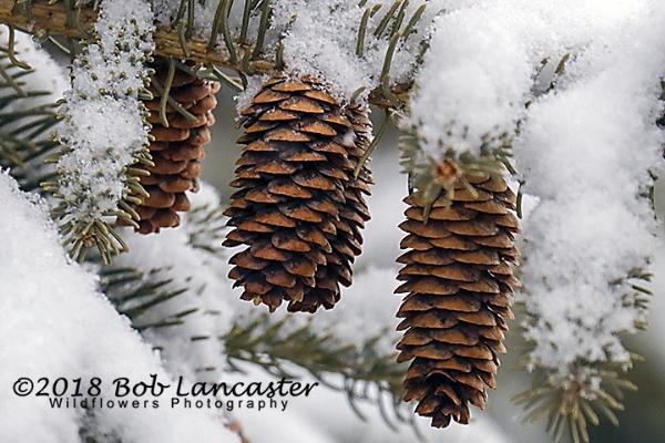 fresh snow on pine cones_MG_0965.jpg