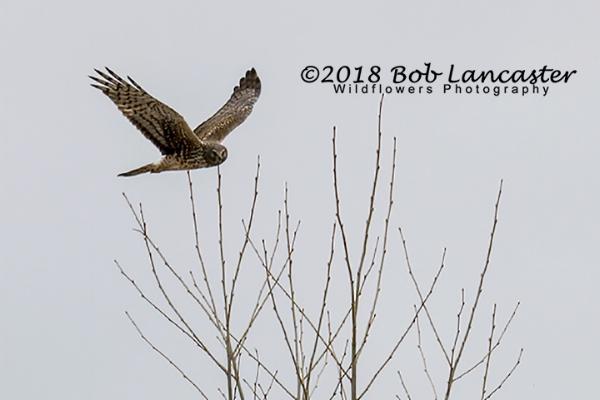 red tail hawk hunting#1_MG_1109.jpg
