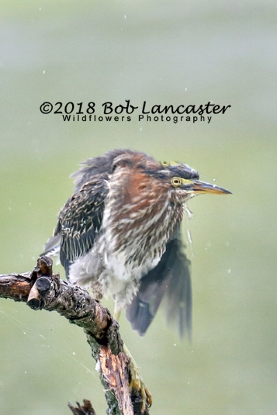 A green heron shaking off the rain.