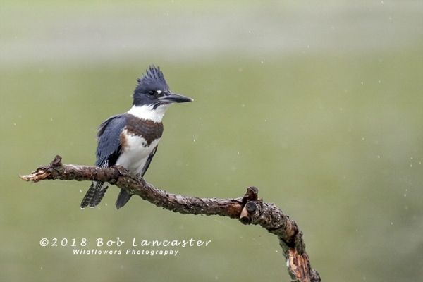 Another first for me, a female Belted Kingfisher, also photographed during the rain.