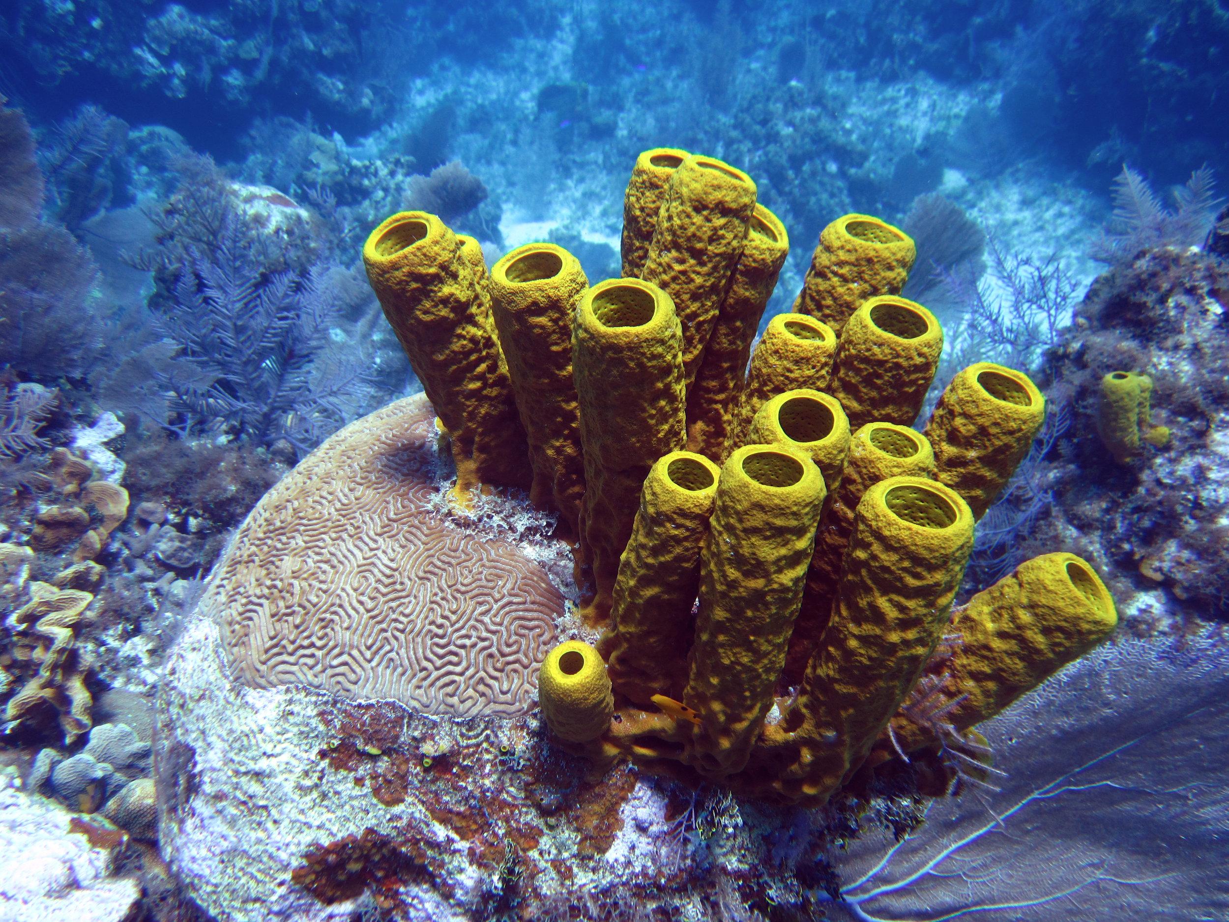 The yellow tube sponge, Aplysina fistularis, common at Caribbean reefs.