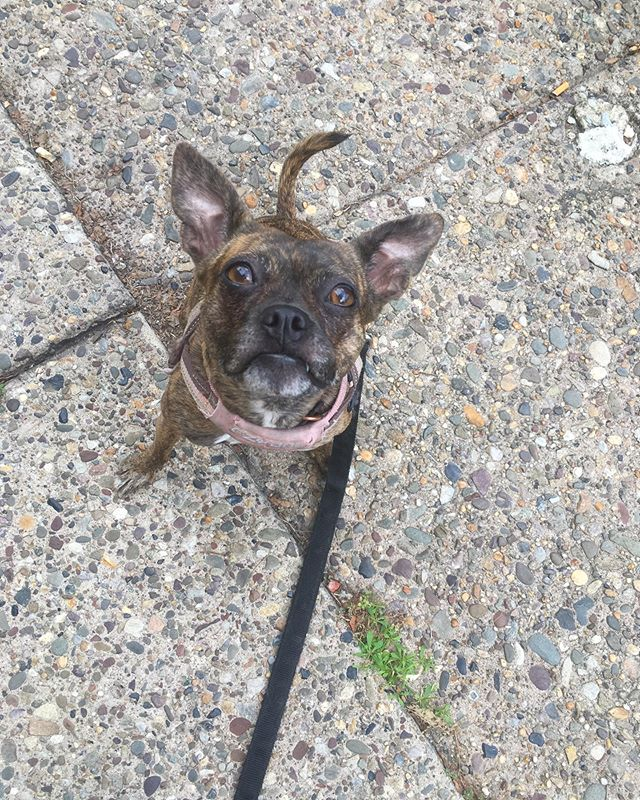 Is that Leeloo or a gremlin? 🤔 . . . . #friskyinphilly #phillydogs #phillypets #dogsofphilly #dogsofphiladelphia #phillydogwalkers #phillydog #southphilly #southphiladelphia #pointbreeze #newbold #muttstagram #muttsofinstagram #muttsofinsta #gremlin #bindlebaby #terrier #terriermix