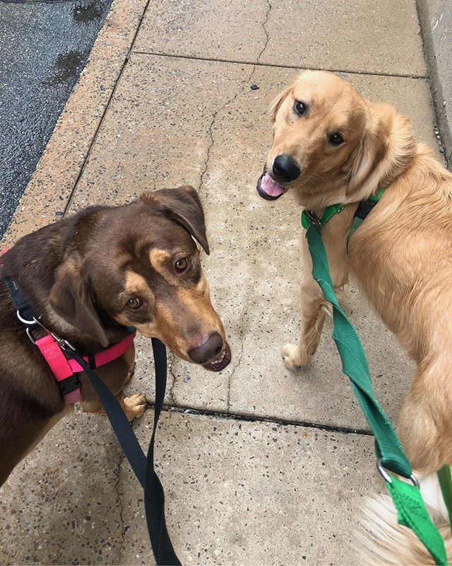 We really have a thing for retriever siblings! . . . . #friskyinphilly #phillydogs #phillypets #dogsofphilly #dogsofphiladelphia #phillydogwalkers #phillydog #southphilly #southphiladelphia #pennsport #dickinsonsquarewest #goldenretrieversofinstagram #goldenretriever #goldensofinstagram #labmix #labradormix #labradorsofinstagram #retriever #retrieversgram #retrieversofinstagram