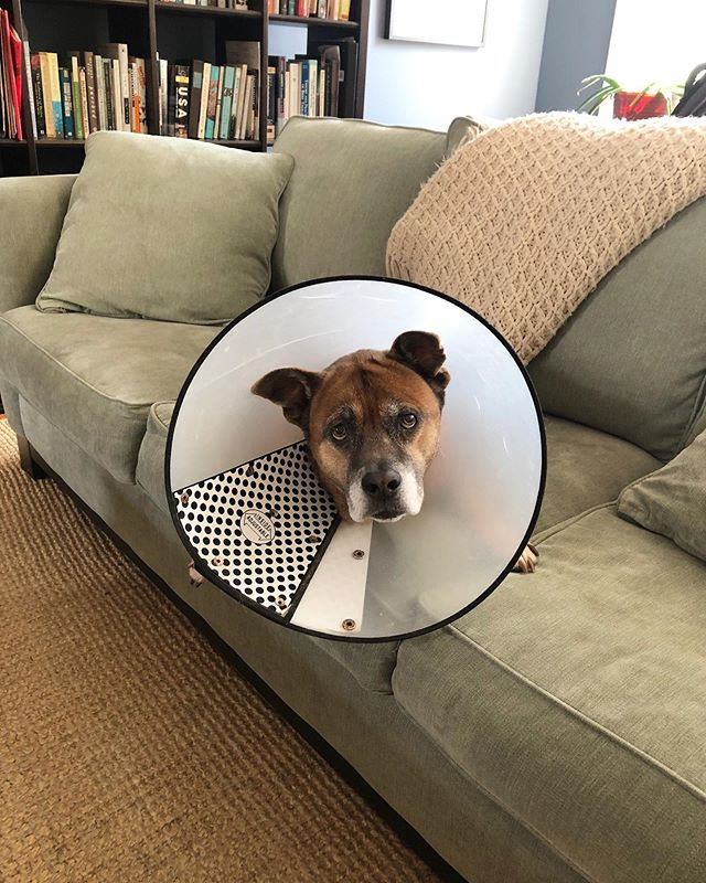 Mischa making cones look stylish! . . . . #friskyinphilly #phillydogs #phillypets #dogsofphilly #dogsofphiladelphia #phillydogwalkers #phillydog #southphilly #southphiladelphia #eastpassyunk #passyunksquare #passyunk #muttstagram #muttsofinstagram #muttsofig