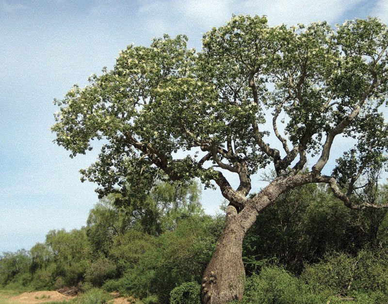 Palo Santo Tree