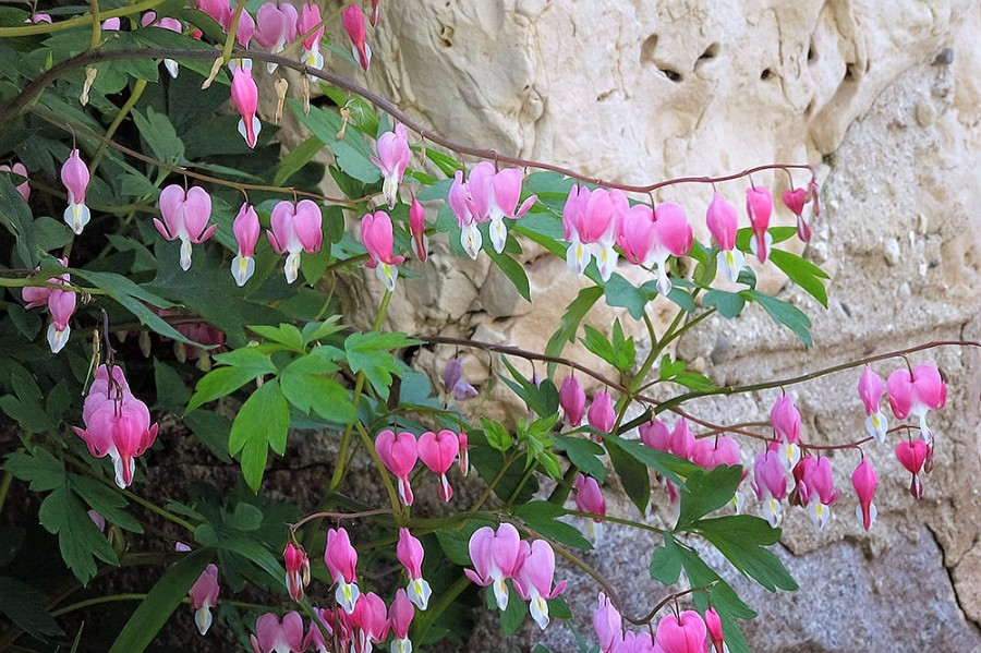 Flowering Gardens – Ever changing floral displays adorn the fieldstone gardens...bleeding hearts, old-fashioned roses, white hydrangeas.
