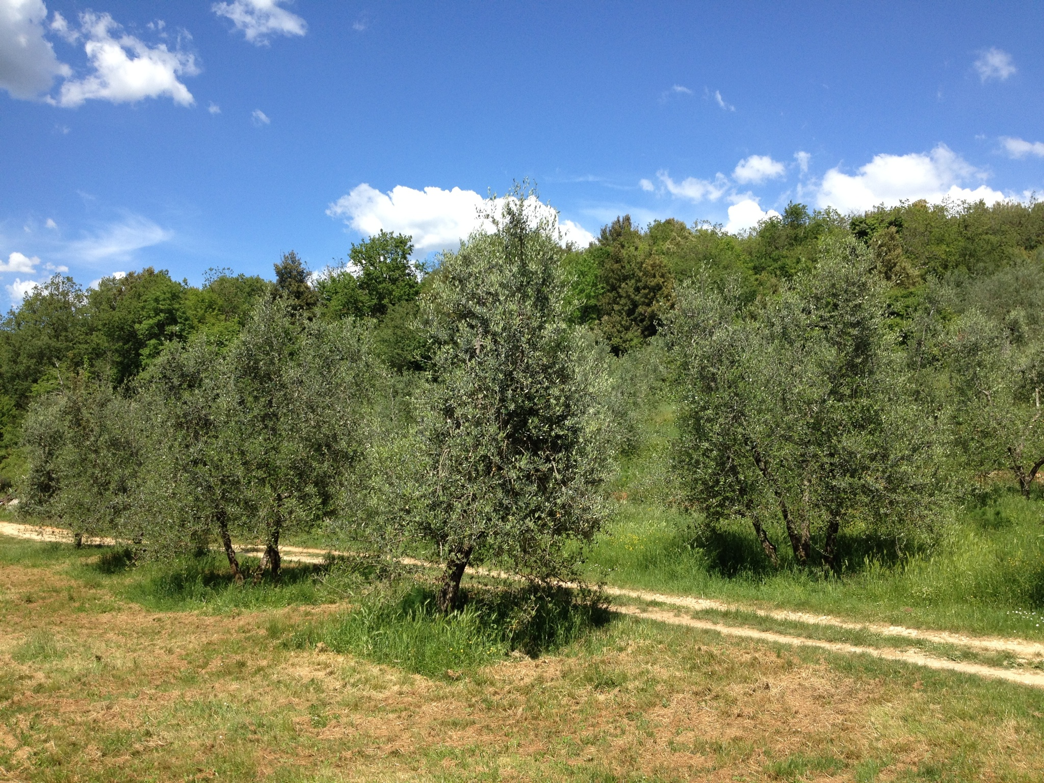 Olive trees at Spannocchia
