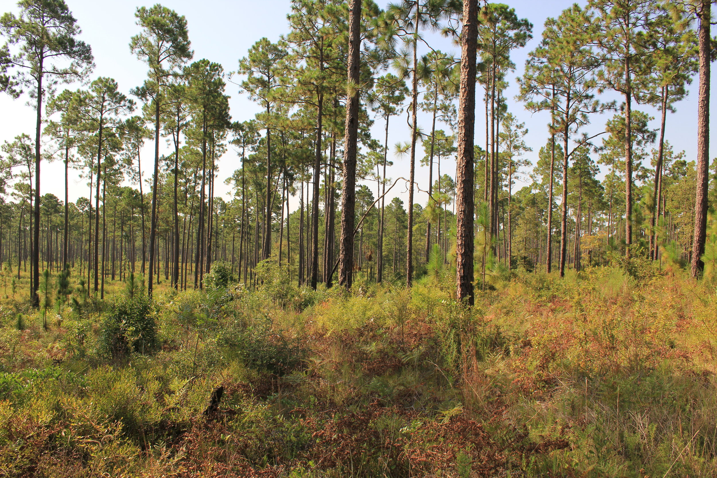 Natural Bridge flatwoods.JPG