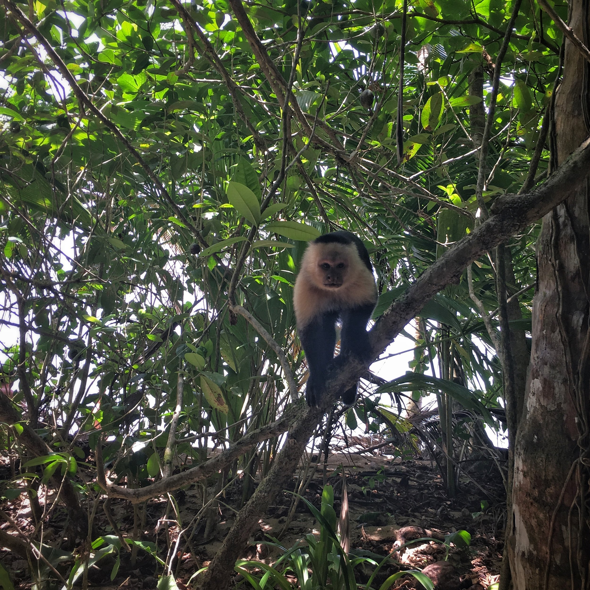 Cahuita National Park - incredibly brazen capuchin monkeys