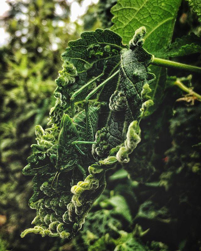 killer camouflage . . . . #jardíndebotanicobogotá #Bogotá #colombia  #wanderlust  #travelphotography  #wayfaringwandering #camouflage #insect #plant #green