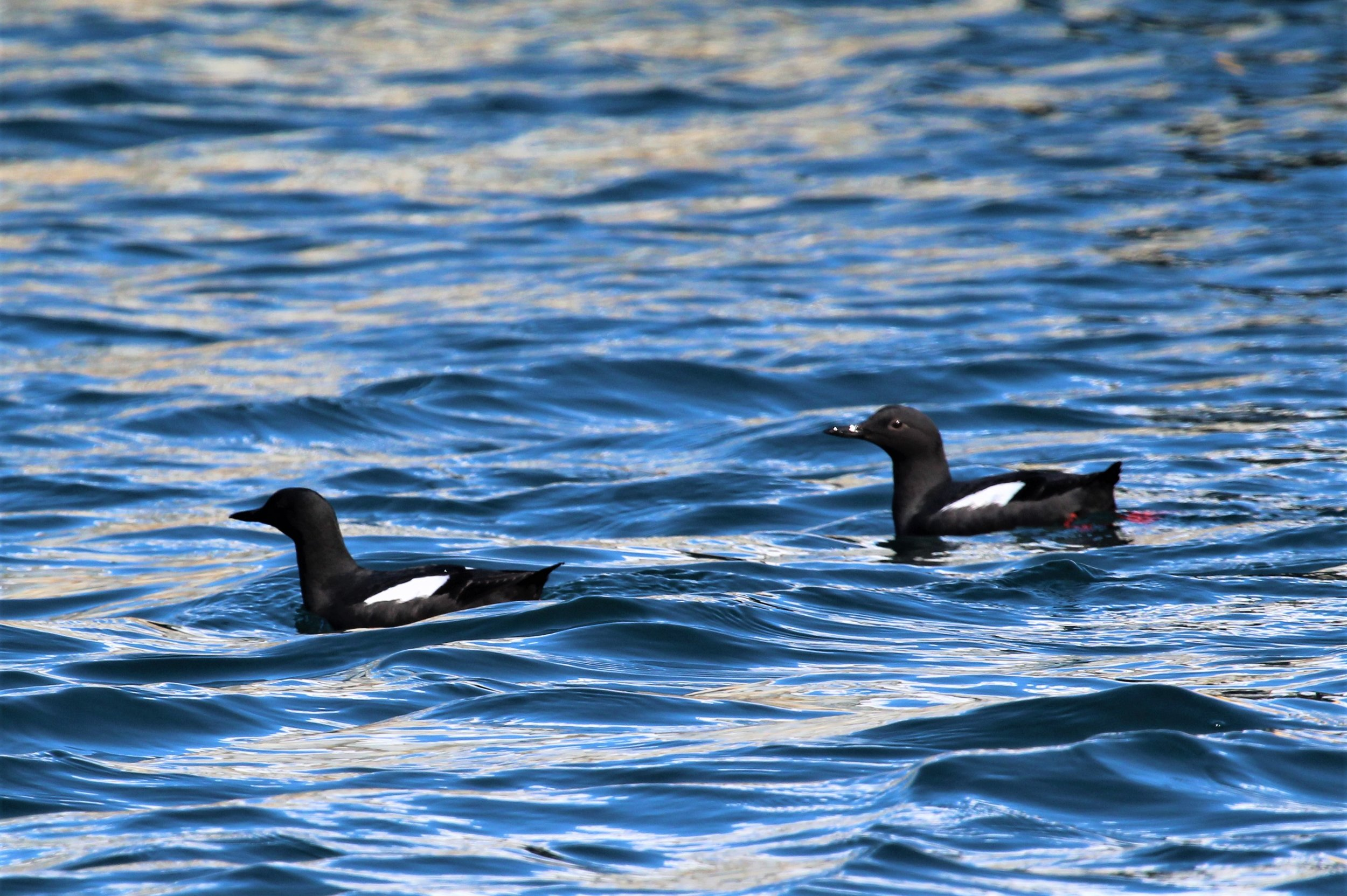 Pigeon Guillemots - Resurrection Bay - 4/1/19