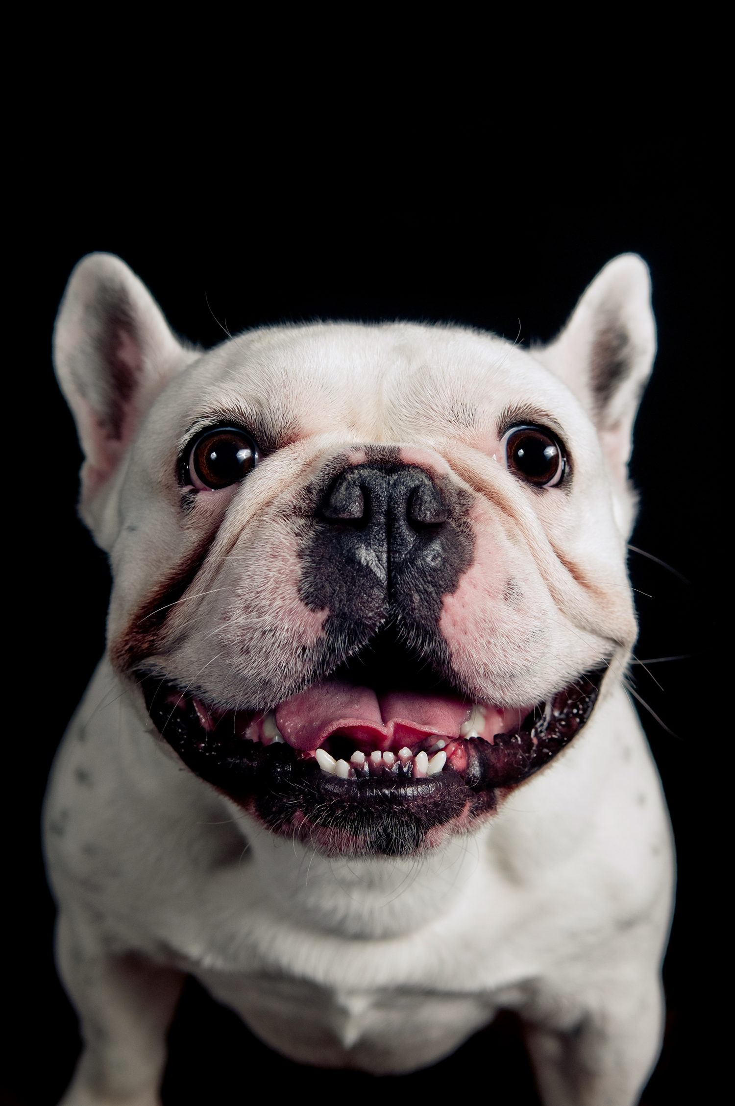 Frenchie with higgledy-piggledy lower incisors (tooth crowding)