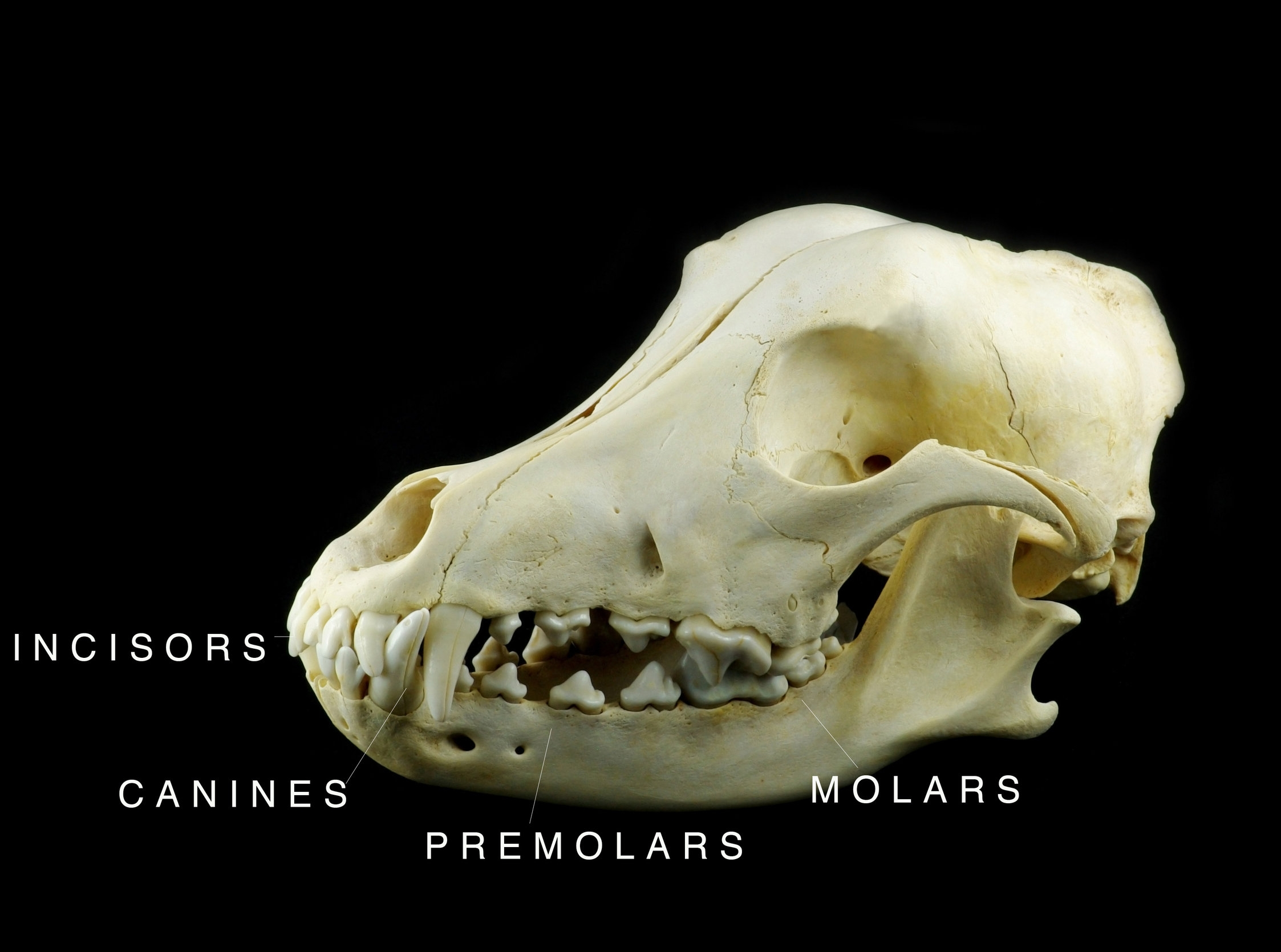 Dog skull with teeth – incisors, canines, premolars and molars
