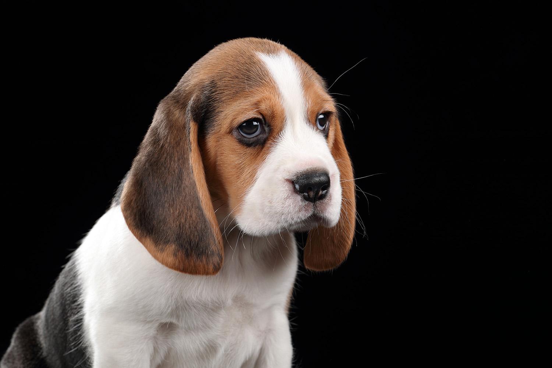 beaglepup.jpg