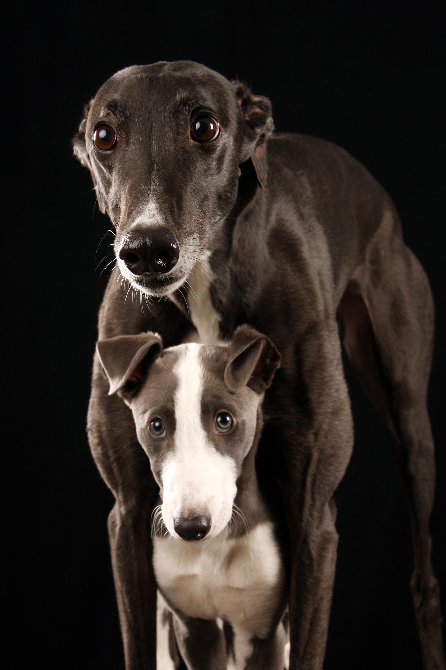 greyhounds.png