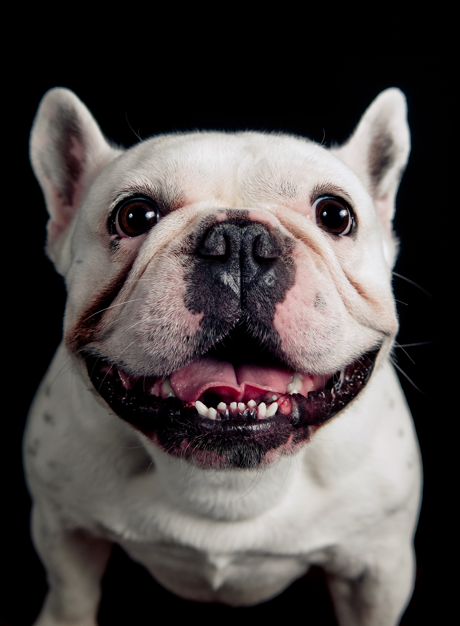 smilingfrenchie.png