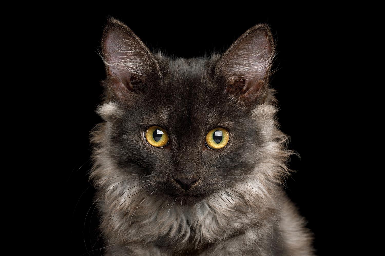 Grey kitten.png