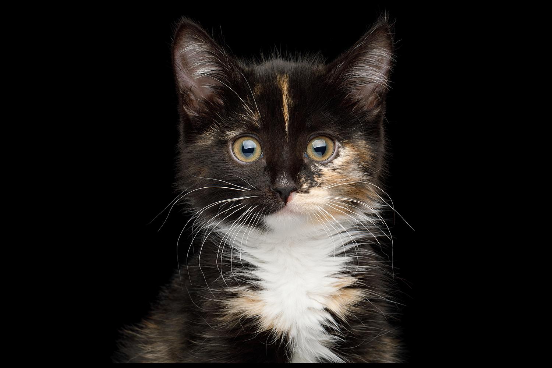 Torti kitten.png