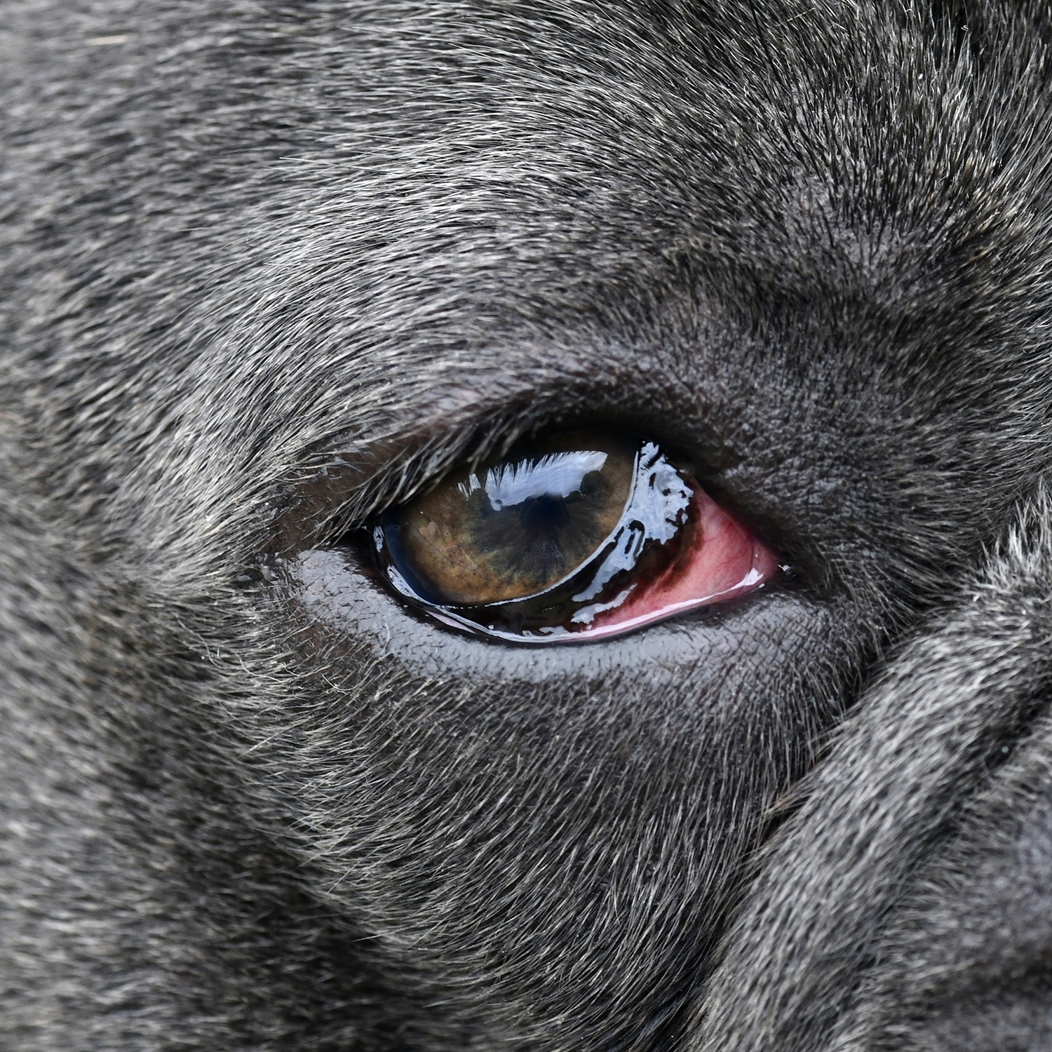 French Bulldog with conjunctival hyperaemia
