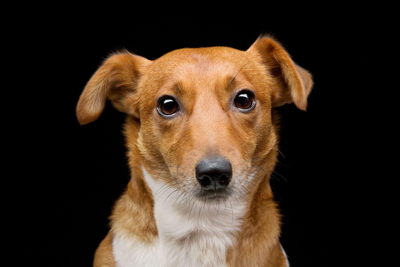 Red_terrier.jpg