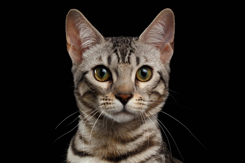 Coronavirus In Cats Elwood Vet