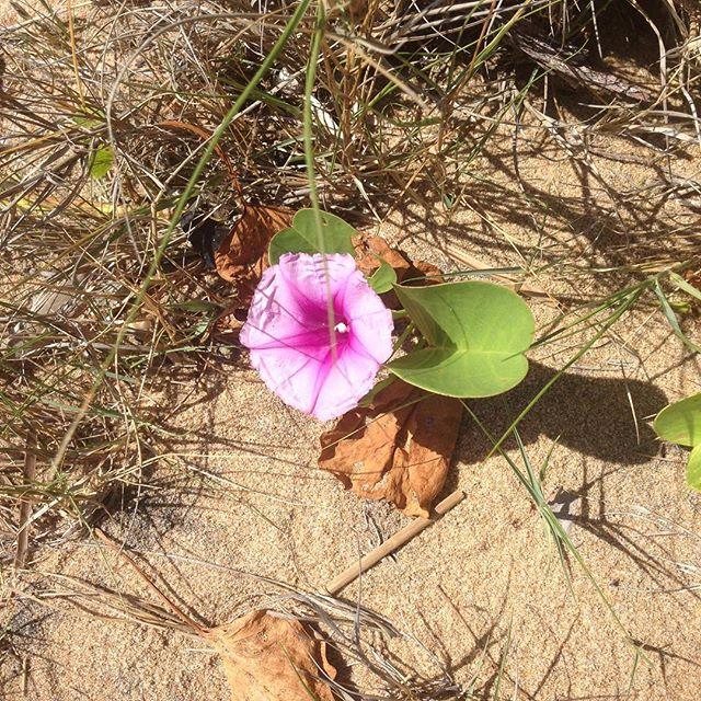 Beautiful beach blooms #iknowaplace #visitagnes1770 #thisisqueensland #australia