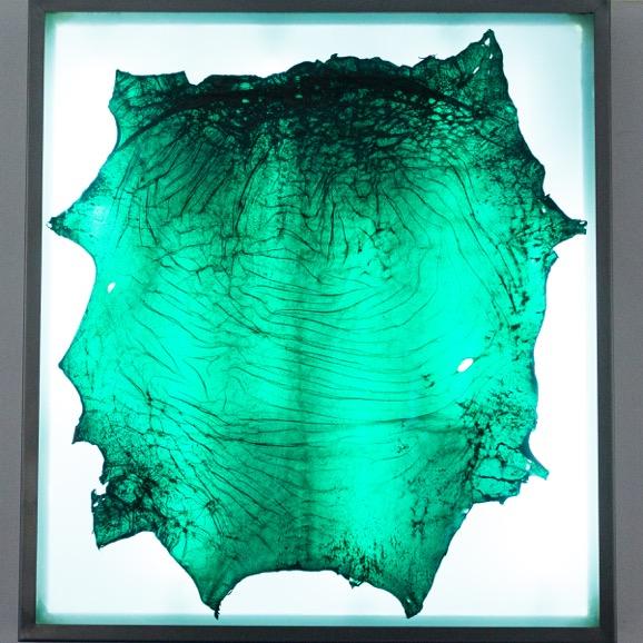 Amandine Guruceaga,  Myth Tartar (Penicillium) , 2017. Cuir d'agneau transparent, caisson lumineux en acier, 98 cm x 89 cm x 10 cm