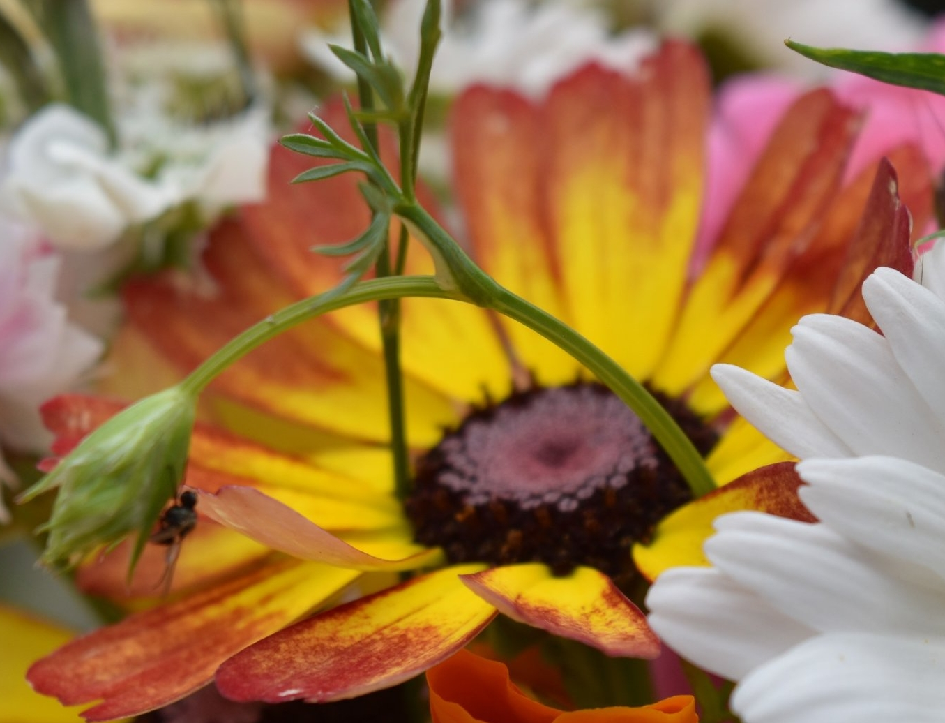 Crysanthemum (rainbow)