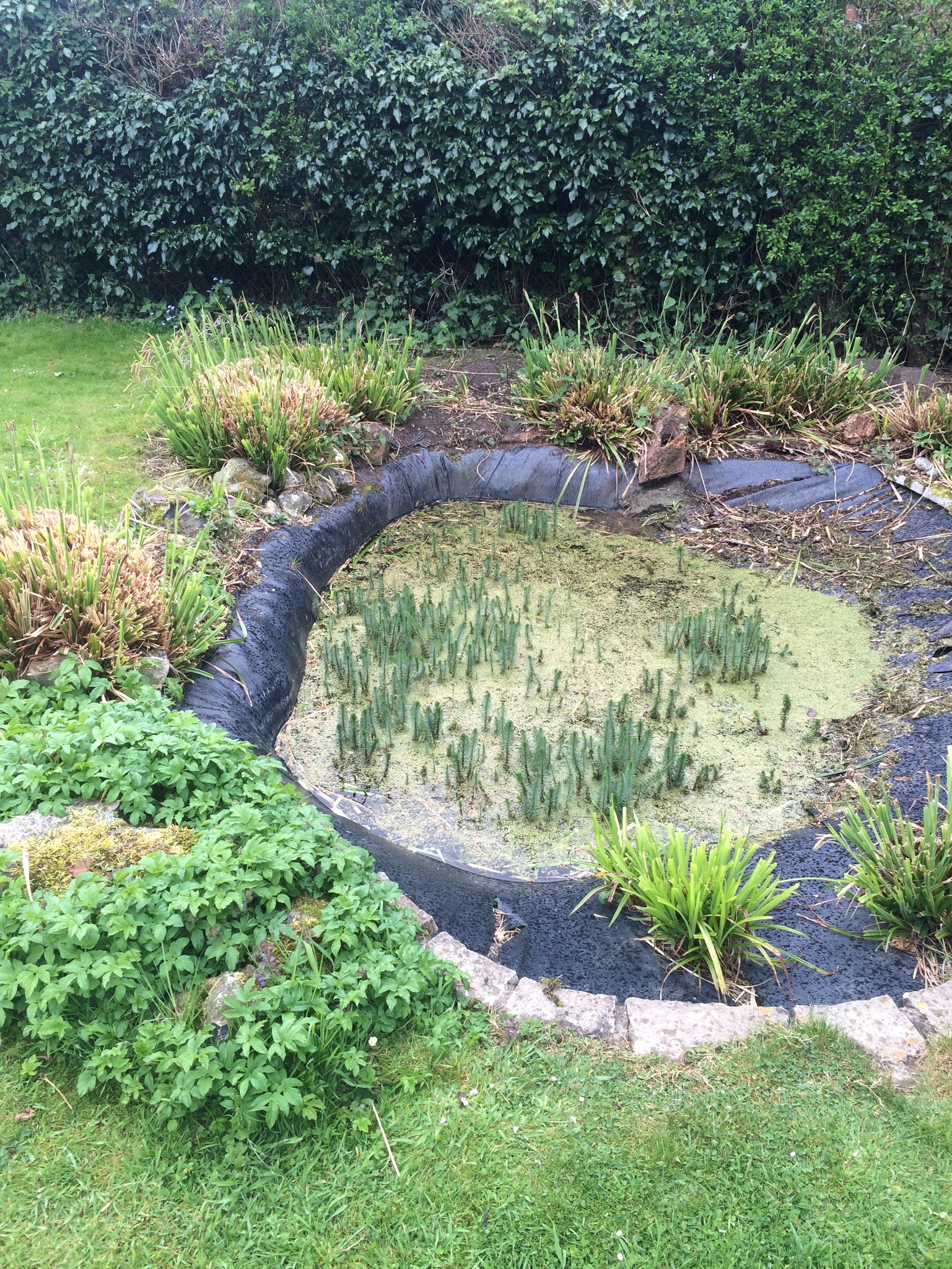 Before picture: for pond re-design, ripped liner, leaking pond, overgrown non native plants and silt build up in pond. New design and planting plan was drawn up leveling pond, re-lining and re-planting.
