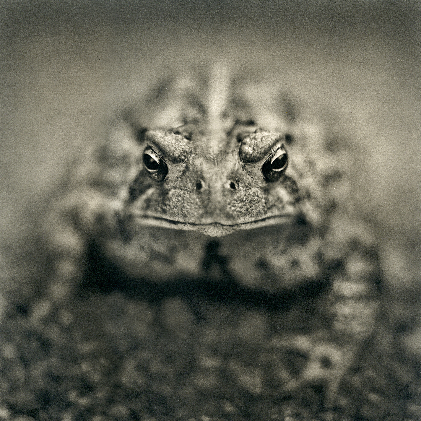 American Toad, 2016