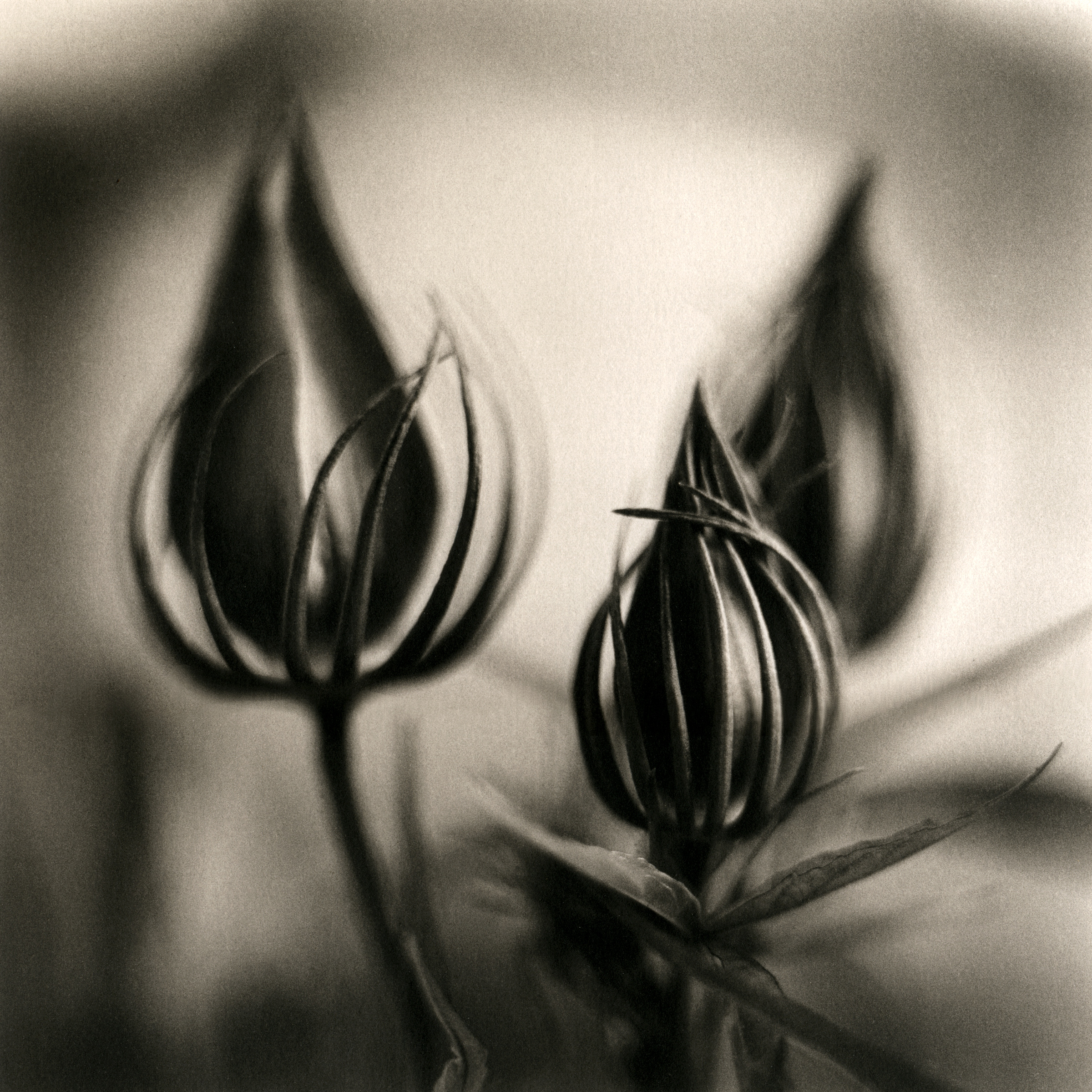Hibiscus Buds, 2004