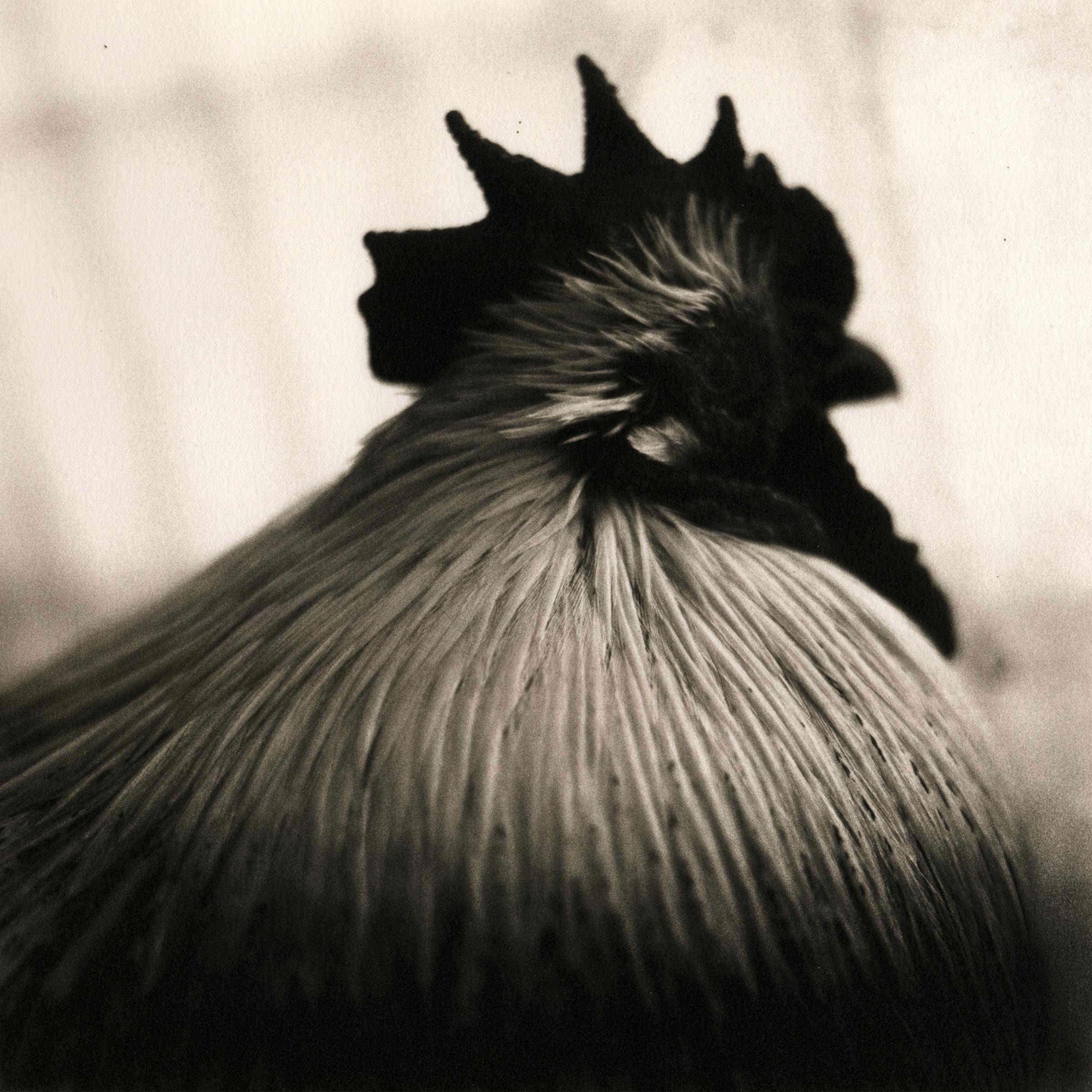 Rooster (El Duque), 2007