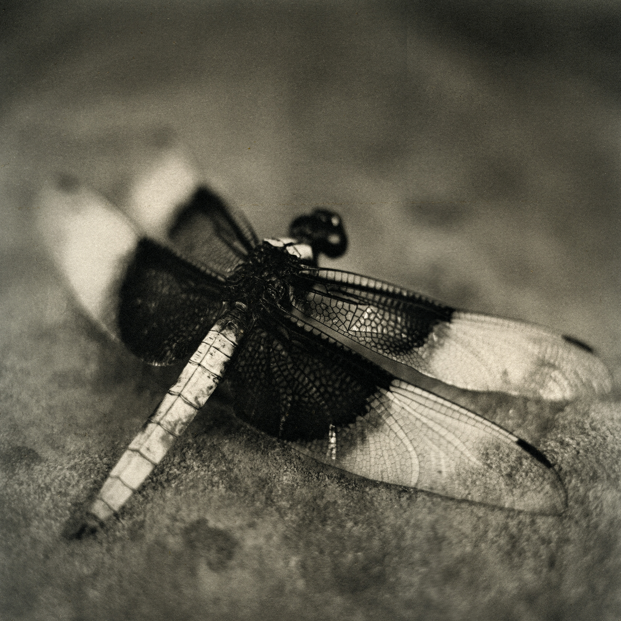 White Tail Skimmer Dragonfly, 2009