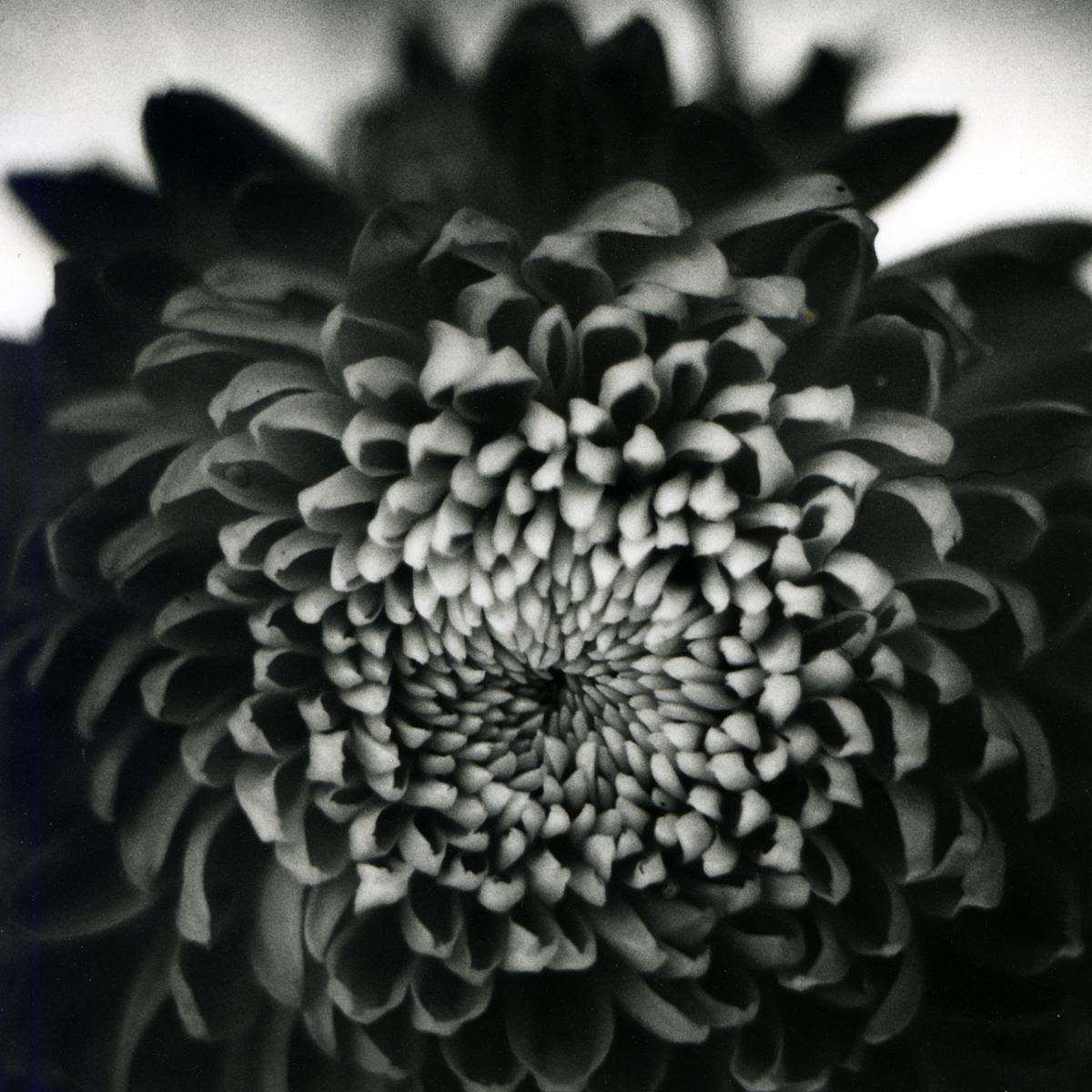 Chrysanthemum 2, 2014